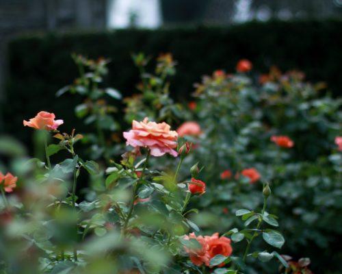 close up of rose garden